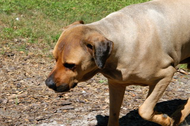 Great-Dane-Bull-Mastiff-Shaved-060