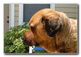 Great Dane Bull Mastiff Mix Dog Fur Coat Shaving Pictures