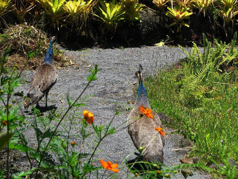 Rainforest On The Big Island: Panaewa-Rainforest-Zoo-and-Gardens-Hilo-Big-Island-Hawaii-004