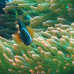 Rainbow Reef Scuba Diving - Taveuni, Fiji