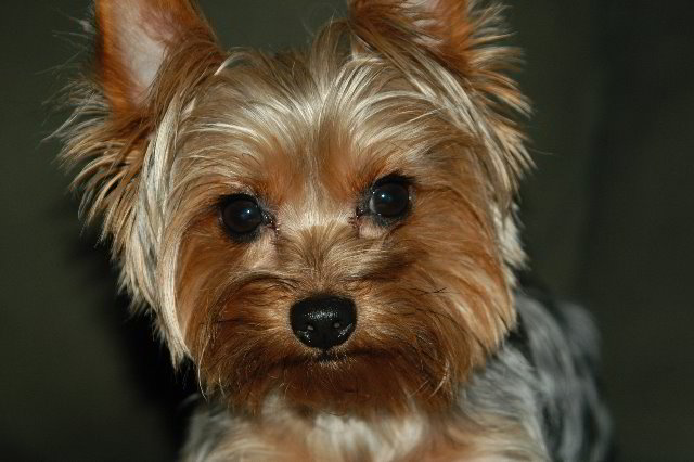 Yorkshire-Terrier-Pictures-15