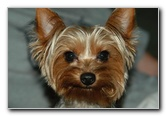 Yorkshire Terrier (AKA Yorkie) Puppy Dog Pictures